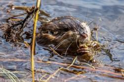 Beaver_13