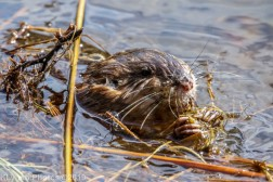 Beaver_14