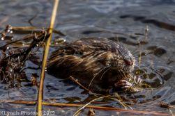 Beaver_18