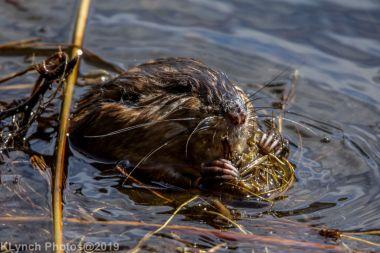 Beaver_20