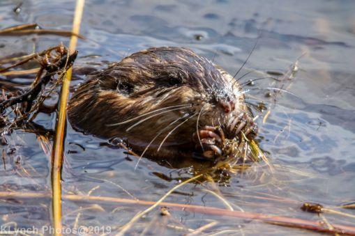 Beaver_22
