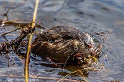 Beaver_24