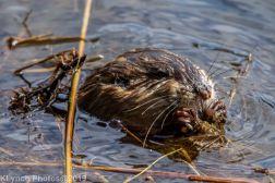 Beaver_26
