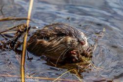Beaver_27