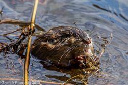 Beaver_28