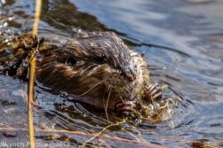 Beaver_29