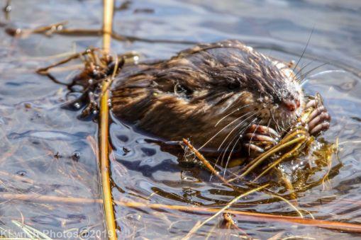 Beaver_30