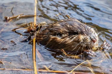 Beaver_31