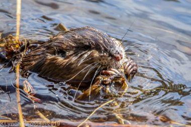 Beaver_32