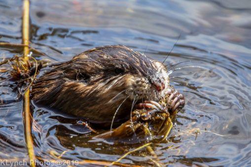 Beaver_33