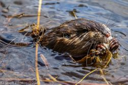 Beaver_34