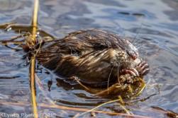 Beaver_35