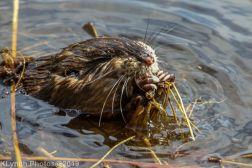 Beaver_38