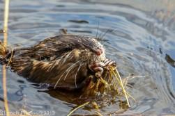 Beaver_39