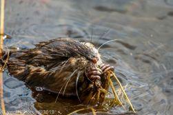 Beaver_40