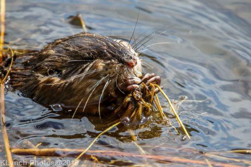 Beaver_41