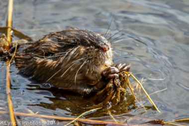 Beaver_42