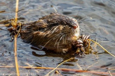 Beaver_43