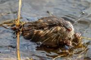 Beaver_47