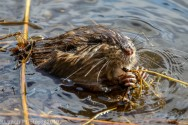 Beaver_50