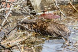 Beaver_7