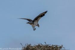 Osprey _2