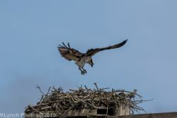 Osprey _4