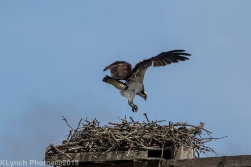 Osprey _5
