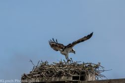 Osprey _6
