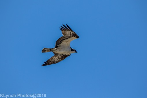 Osprey_1