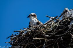 Osprey_19