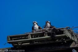 Osprey_26
