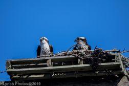 Osprey_37