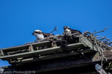 Osprey_43