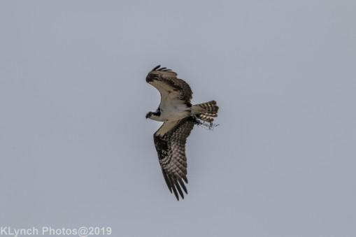 Osprey_8