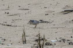 PipingPlover_1