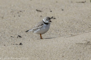 PipingPlover_10