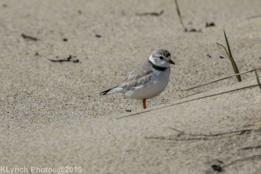 PipingPlover_11