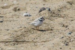 PipingPlover_12