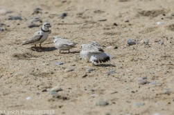 PipingPlover_13