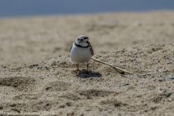 PipingPlover_14