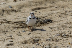 PipingPlover_15