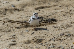 PipingPlover_16