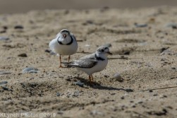 PipingPlover_17
