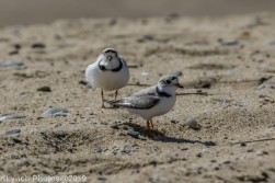 PipingPlover_18