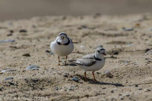 PipingPlover_19