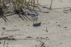 PipingPlover_2