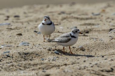 PipingPlover_20