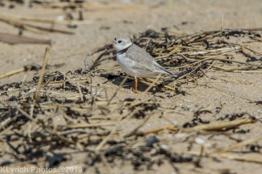 PipingPlover_21