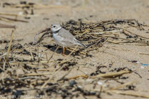PipingPlover_22